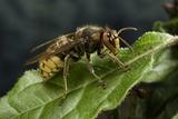 Vespa Crabro (European Hornet) Photographic Print by Paul Starosta