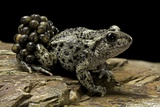 Alytes Obstetricans (Common Midwife Toad) - Male with Eggs Photographic Print by Paul Starosta