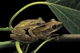Polypedates Leucomystax (Common Tree Frog, Golden Gliding Frog) - Mating Photographic Print by Paul Starosta