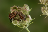 Graphosoma Lineatum (Striped Shield Bug ) - Mating Photographic Print by Paul Starosta