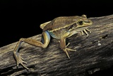Litoria Aurea (Green and Golden Bell Frog) Photographic Print by Paul Starosta