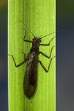 Perla Maxima (Stonefly) Photographic Print by Paul Starosta