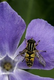 Helophilus Pendulus (Hoverfly, Sun Fly) Photographic Print by Paul Starosta