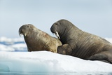 Walrus Resting on Ice in Hudson Bay, Nunavut, Canada Photographic Print by Paul Souders