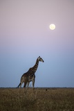 Giraffe and Moonrise, Chobe National Park, Botswana Photographic Print by Paul Souders