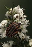 Graphosoma Lineatum (Striped Shield Bug ) Photographic Print by Paul Starosta