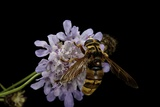 Milesia Crabroniformis (Hoverfly) Photographic Print by Paul Starosta