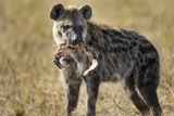 Hyena, Moremi Game Reserve, Botswana Photographic Print by Paul Souders