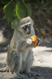 Vervet Monkey, Moremi Game Reserve, Botswana Photographic Print by Paul Souders