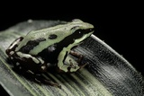 Epipedobates Tricolor (Phantasmal Poison Frog) Photographic Print by Paul Starosta