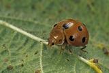 Epilachna Chrysomelina (Melon Ladybeetle) Photographic Print by Paul Starosta