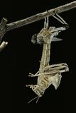 Schistocerca Gregaria (Desert Locust) - Emerging Photographic Print by Paul Starosta