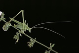Tylopsis Lilifolia (Lily Bush-Cricket) Photographic Print by Paul Starosta