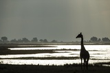 Giraffe along Chobe River, Chobe National Park, Botswana Photographic Print by Paul Souders