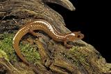 Gyrinophilus Porphyriticus (Spring Salamander) Photographic Print by Paul Starosta