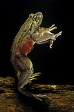 Trichobatrachus Robustus (Hairy Frog) Photographic Print by Paul Starosta