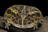 Ceratophrys Ornata (Ornate Horned Frog, Escuerzo) Photographic Print by Paul Starosta