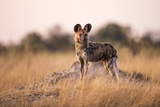 Wild Dog, Moremi Game Reserve, Botswana Photographic Print by Paul Souders