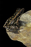 Hylarana Signata (Spotted Stream Frog) Photographic Print by Paul Starosta