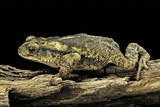 Incilius Valliceps (Gulf Coast Toad) Photographic Print by Paul Starosta