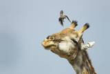 Giraffe and Pesky Bird, Moremi Game Reserve, Botswana Photographic Print by Paul Souders