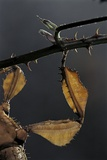 Extatosoma Tiaratum (Giant Prickly Stick Insect) - Leg Photographic Print by Paul Starosta