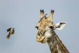 Giraffe and Red-Billed Oxpeckers, Moremi Game Reserve, Botswana Photographic Print by Paul Souders