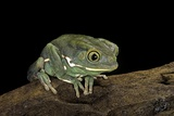 Phyllomedusa Sauvagii (Waxy Monkey Leaf Frog) Photographic Print by Paul Starosta