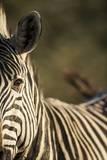 Plains Zebra, Moremi Game Reserve, Botswana Photographic Print by Paul Souders