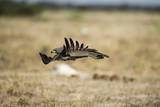 Martial Eagle, Nxai Pan National Park, Botswana Photographic Print by Paul Souders