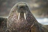 Walrus on Ice in Hudson Bay, Nunavut, Canada Photographic Print by Paul Souders