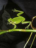 Hyla Meridionalis (Mediterranean Tree Frog) - in Water Photographic Print by Paul Starosta