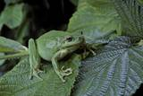 Hyla Meridionalis (Mediterranean Tree Frog) - in a Tree Photographic Print by Paul Starosta