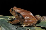 Dyscophus Antongilii (Madagascar Tomato Frog) Photographic Print by Paul Starosta