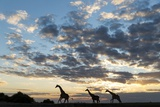 Giraffe Herd along Chobe River, Chobe National Park, Botswana Photographic Print by Paul Souders
