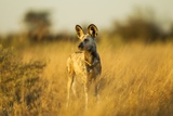 Wild Dog at Dawn, Moremi Game Reserve, Botswana Photographic Print by Paul Souders