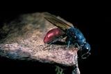 Chrysis Ignita (Common Cuckoo Wasp) Photographic Print by Paul Starosta