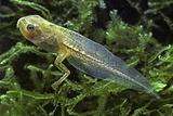 Hyla Meridionalis (Mediterranean Tree Frog) - Tadpole 2 Legs Photographic Print by Paul Starosta