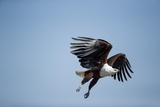Fish Eagle in Flight, Chobe National Park, Botswana Photographic Print by Paul Souders