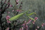 Mantis Religiosa (Praying Mantis) Photographic Print by Paul Starosta