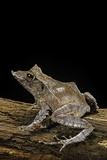 Ceratobatrachus Guentheri (Gunther's Triangle Frog) Photographic Print by Paul Starosta