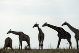 Giraffe Herd, Chobe National Park, Botswana Photographic Print by Paul Souders