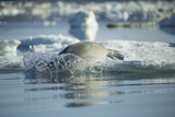 Bearded Seal Dives from Sea Ice in Hudson Bay, Nunavut, Canada Photographic Print by Paul Souders