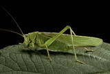 Tettigonia Viridissima (Great Green Bush-Cricket) - Female Photographic Print by Paul Starosta