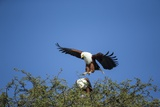 Fish Eagles Mating, Chobe National Park, Botswana Photographic Print by Paul Souders