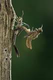 Calopteryx Virgo (Beautiful Demoiselle) - Emerging Photographic Print by Paul Starosta