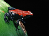 Adelphobates Galactonotus (Splash-Backed Poison Frog) Photographic Print by Paul Starosta