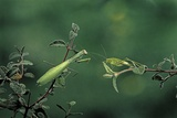 Mantis Religiosa (Praying Mantis) - Watching its Prey Photographic Print by Paul Starosta