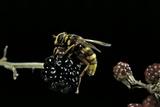 Milesia Crabroniformis (Hoverfly) Photographic Print by Paul Starosta
