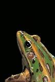 Lithobates Pipiens (Northern Leopard Frog) Fotografisk tryk af Paul Starosta